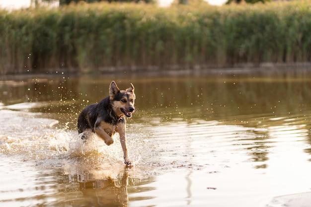 Pies biega przez wodę w jeziorze, spray leci we wszystkich kierunkach, pies się bawi