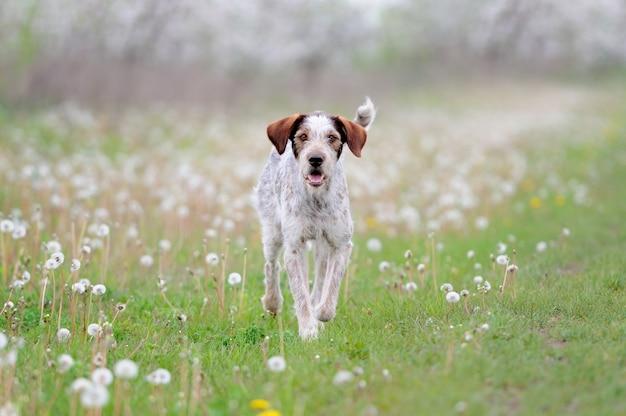 Pies biegnący na polu trawy