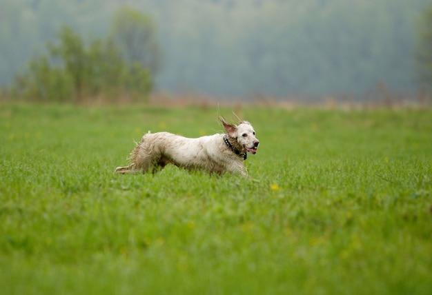 Pies biegnie na zielonej trawie, focus jest na psie, strzelanie z panoramowaniem.