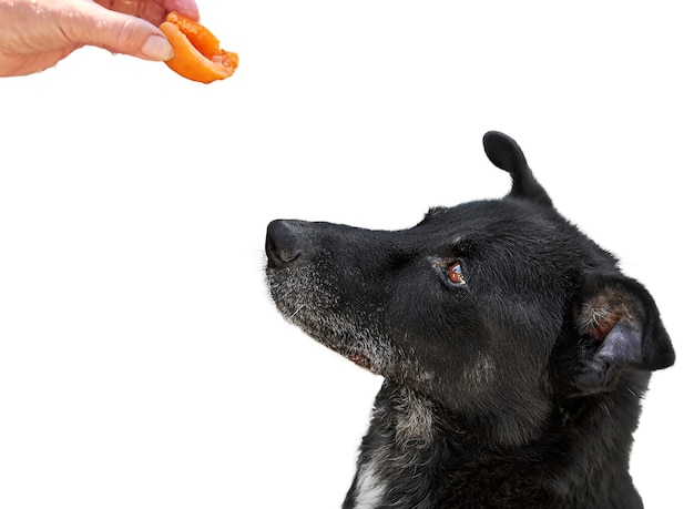 Pies Chce Zjeść Dojrzałą Pomarańczową Morelę Z Ręki Kobiety. Pojedynczo Na Białym Tle Premium Zdjęcia