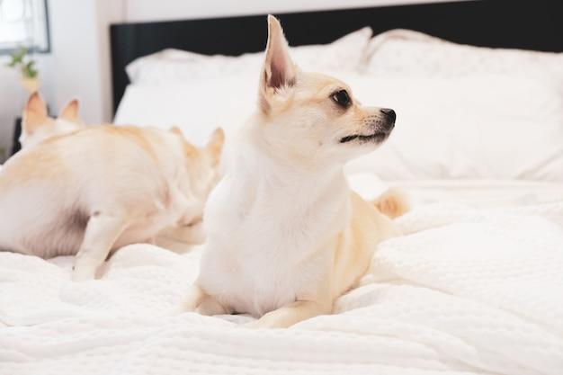 Pies chihuahua leżąc na łóżku z białym prześcieradłem.