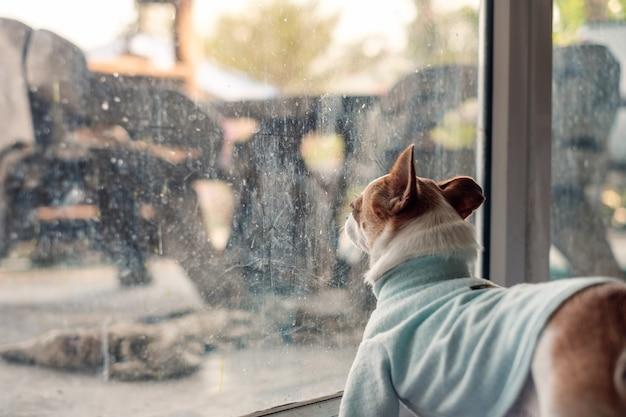 Pies chihuahua nosi niebieski materiał, czekając na coś w szklanym pokoju