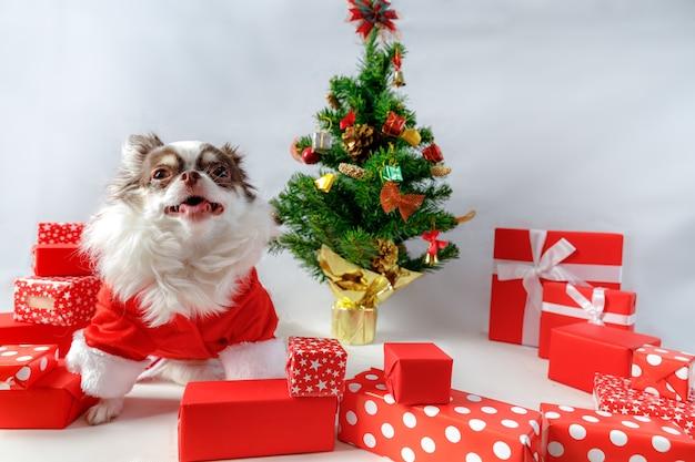 Pies chihuahua ubrany w czerwony kostium santa christmas z pudełkami i choinką
