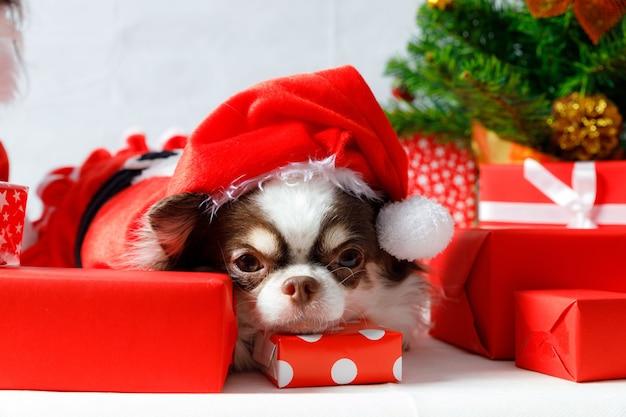 Pies chihuahua ubrany w czerwony strój świętego mikołaja z pudełkami