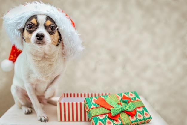 Pies chihuahua w czapce świętego mikołaja oczekuje