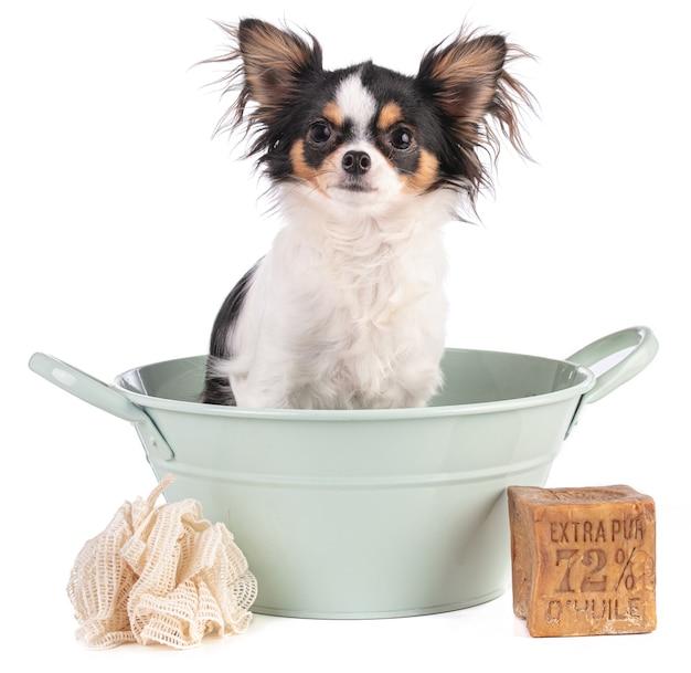 """Pies chihuahua w misce z mydłem marsylskim z napisem """"extra pure 72% oil"""" na białej powierzchni"""