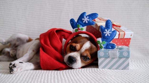 Pies chihuahua w obręczy z rogu jelenia i czerwonym szaliku z prezentami świątecznymi kładzie się na autokarze. wesołych świąt. szczęśliwego nowego roku.