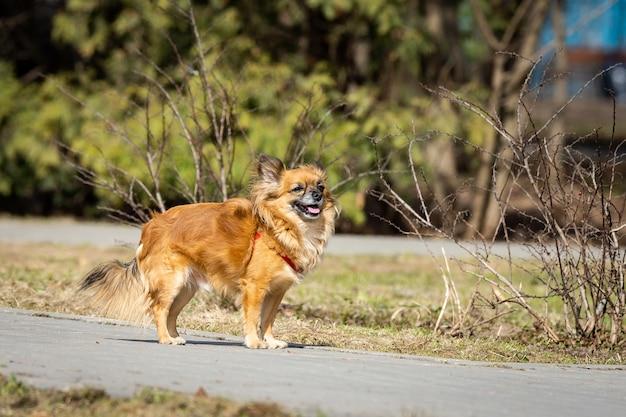 Pies chihuahua w parku