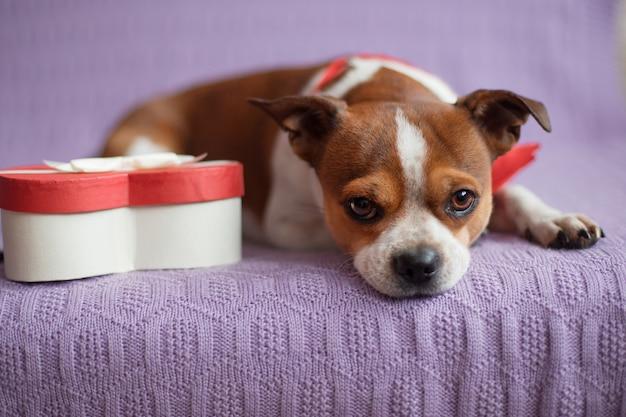 Pies chihuahua z czerwoną muszką, telefonem i pudełkiem w kształcie serca. valentine pies na zakupy. wysokiej jakości zdjęcie