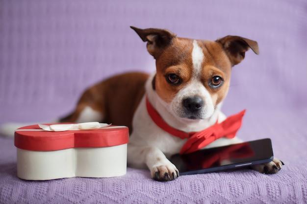 Pies chihuahua z czerwoną muszką, telefonem i pudełkiem w kształcie serca. walentynki zakupy online. wysokiej jakości zdjęcie