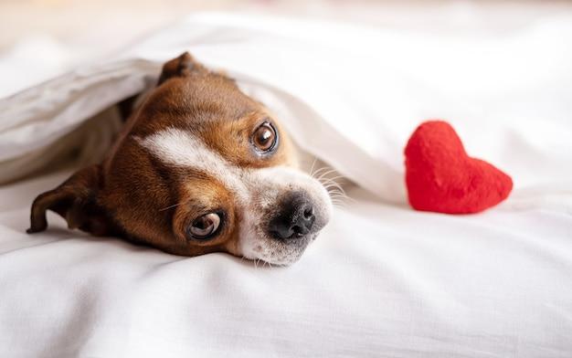 Pies chihuahua z czerwonym sercem pluszaka, leżąc w łóżku. walentynki. wysokiej jakości zdjęcie