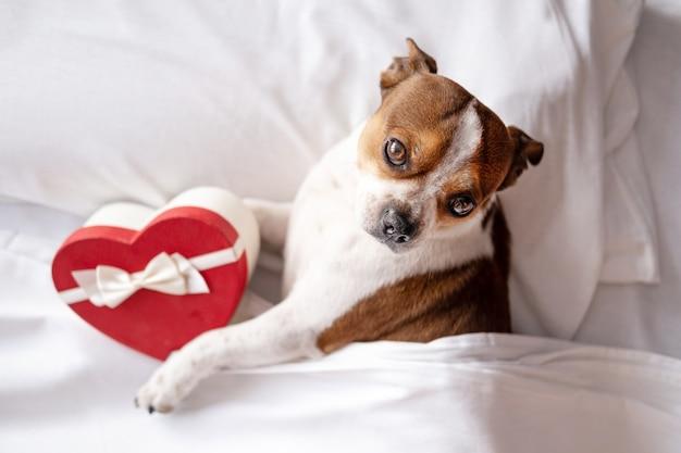 Pies chihuahua z czerwonym sercem pudełko białe wstążki leżące w łóżku. patrząc na kamery. walentynki. wysokiej jakości zdjęcie
