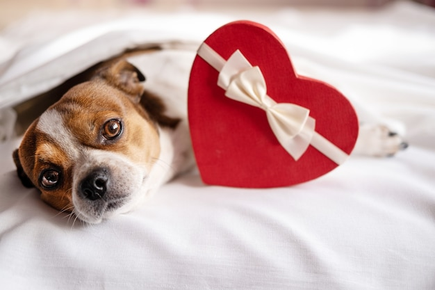 Pies chihuahua z czerwonym sercem pudełko białe wstążki leżące w łóżku. walentynki. wysokiej jakości zdjęcie