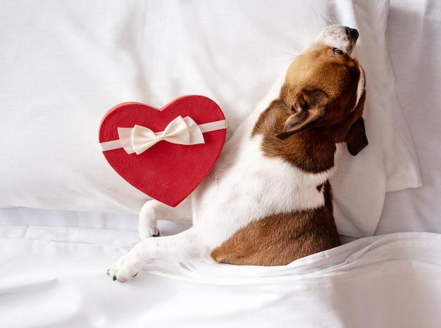 Pies chihuahua z czerwonym sercem pudełko z białą wstążką śpiący w łóżku. walentynki. wysokiej jakości zdjęcie