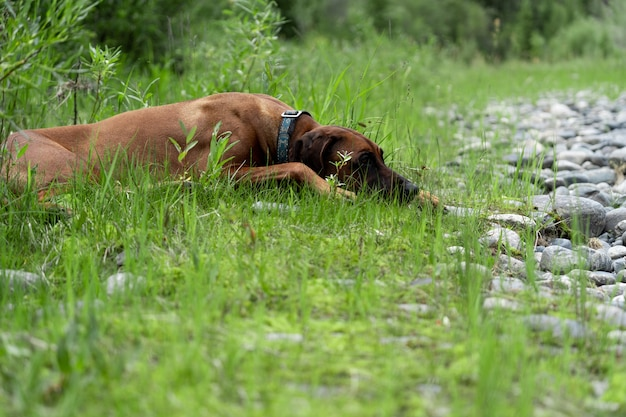 Pies chował się w trawie. rhodesian ridgeback poszedł na odpoczynek