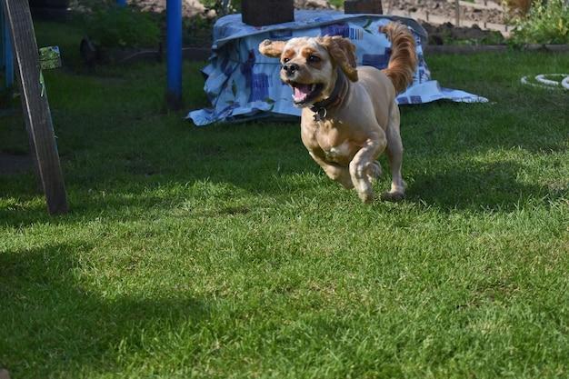 Pies cocker spaniel bawi się w ogrodzie