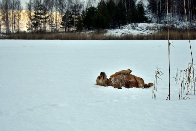 Pies cocker spaniel leży na śniegu