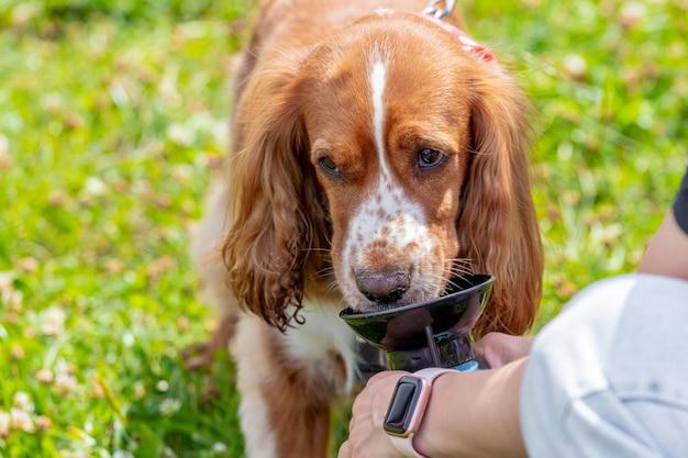 Pies cocker spaniel pije wodę w upalny letni dzień, pies pije wodę z rąk pani