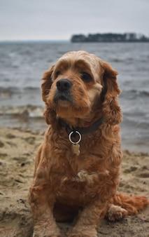 Pies cocker spaniel spaceruje brzegiem rzeki