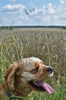 Pies cocker spaniel spaceruje po polu pszenicy