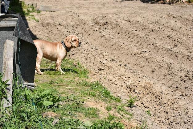 Pies cocker spaniel we wsi