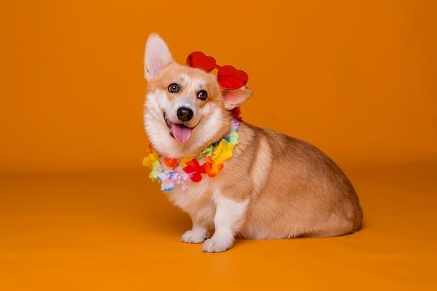 Pies corgi w okularach przeciwsłonecznych i hawajskich koralikach na żółto
