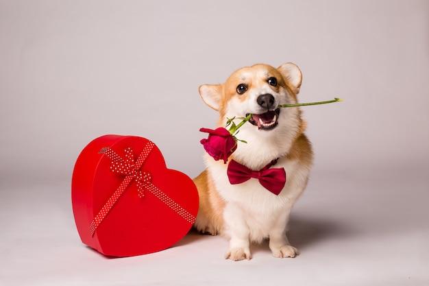 Pies corgi z czerwonym pudełkiem w kształcie serca i czerwoną różą na białej ścianie