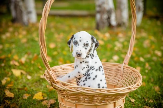 Pies dalmatyński na zewnątrz w lecie
