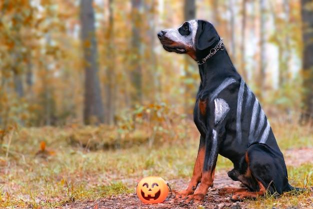Pies doberman na halloween horror upiorny czarny zwierzak siedzi jak duch nam dynia jack straszny i pełzający...