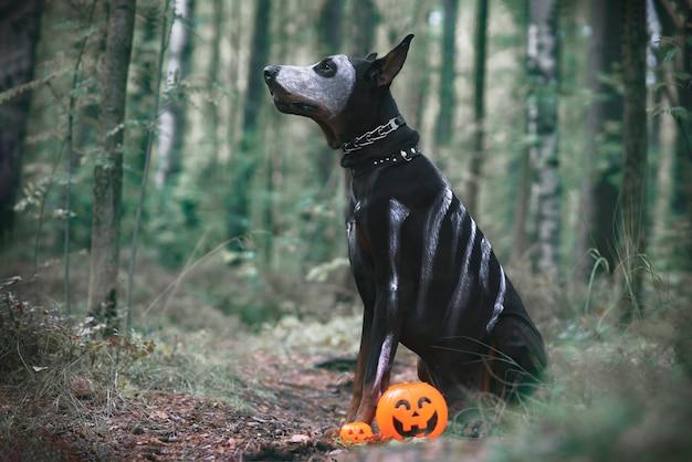 Pies doberman na halloween, upiorny horror. czarny zwierzak siedzi jak duch, dyni jack, przerażający i przerażający.