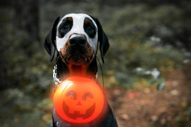 Pies doberman na tle czarnego lasu, patrzy na ciebie z otwartymi ustami i trzyma w zębach latarnię z dyni jack-o-lantern na halloween. upiorny zwierzak na wakacje