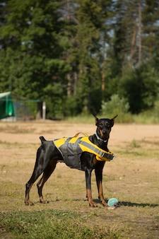 Pies doberman w kamizelce ratunkowej z piłką na plaży