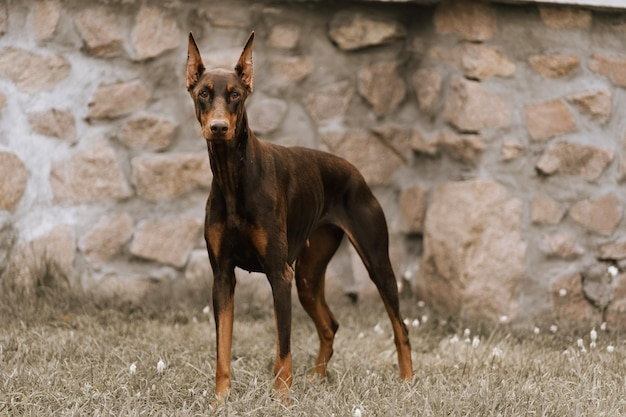Pies doberman w pobliżu kamiennej ściany.