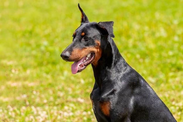 Pies doberman z bliska latem na tle zielonej trawy