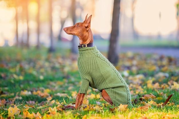 Pies faraona siedzi z profilu w jesiennym parku w ciepłym zielonym swetrze z dzianiny