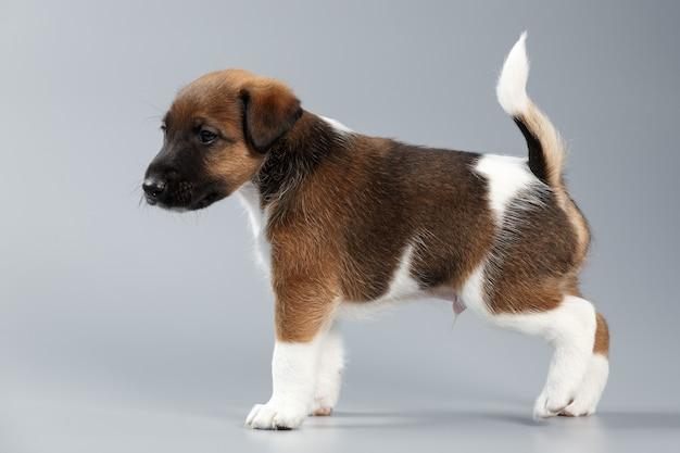 Pies gładki foksterier