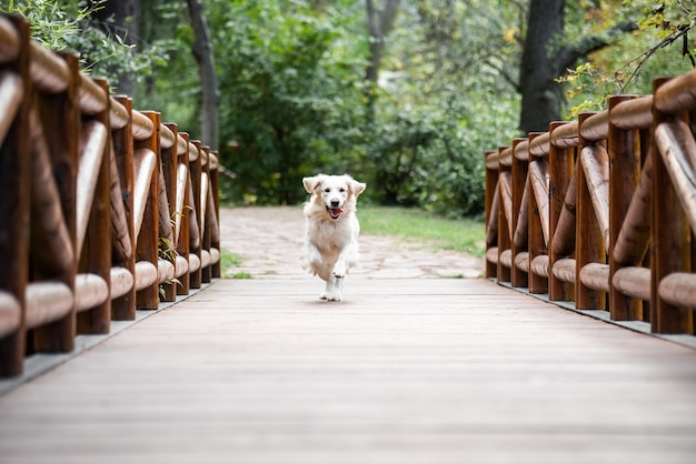 Pies golden retriever biegający po drewnianym moście z wystawionym językiem