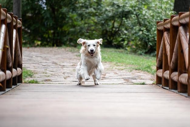 Pies golden retriever biegnący na początku drewnianego mostu