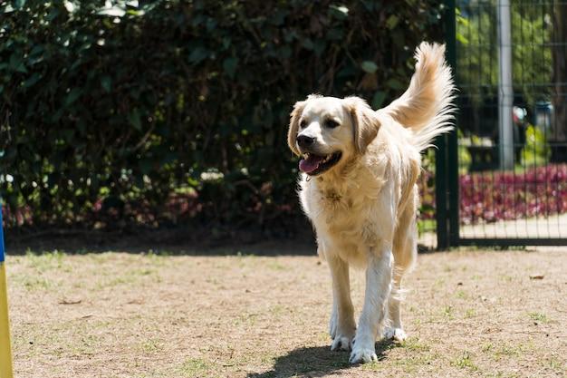 Pies golden retriever gra i zabawy w parku. selektywne skupienie.