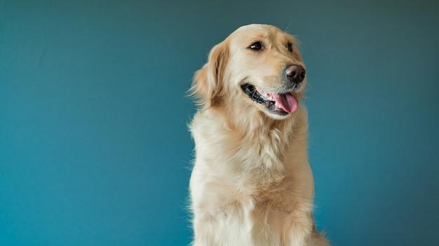 Pies golden retriever patrzy w kamerę na niebiesko