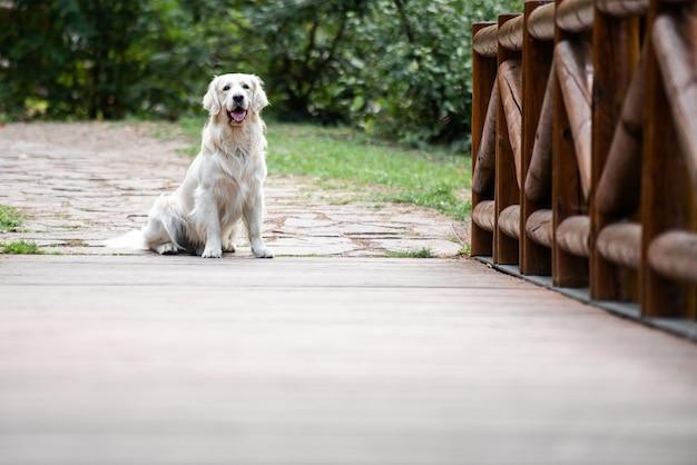 Pies golden retriever siedzący na szczycie drewnianego mostu i gapiący się