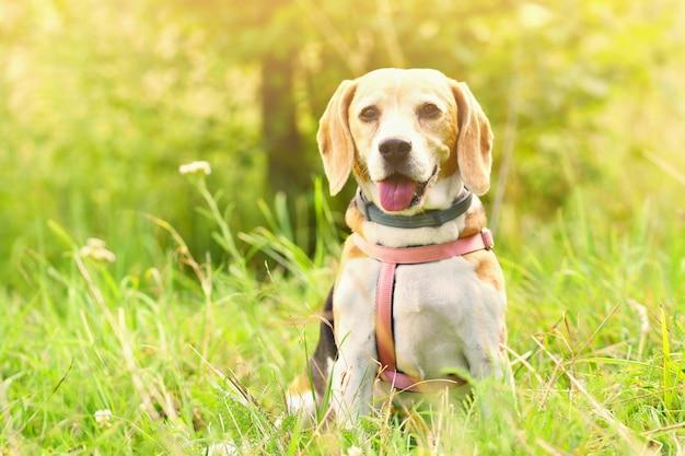 Pies gończy. piękny strzał psa na trawie.