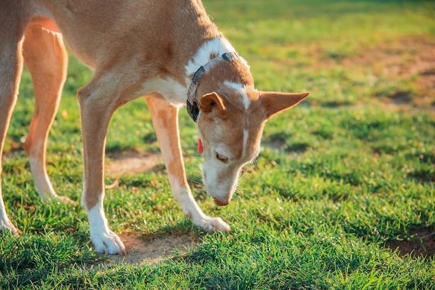 Pies gończy wąchający trawę