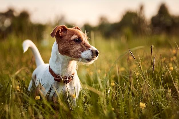 Pies gra w parku na trawie.