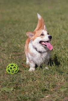 Pies hoduje corgi chodząc po trawniku po południu z piłką