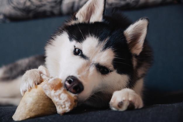 Pies husky gryzie kość leżąc na kanapie.
