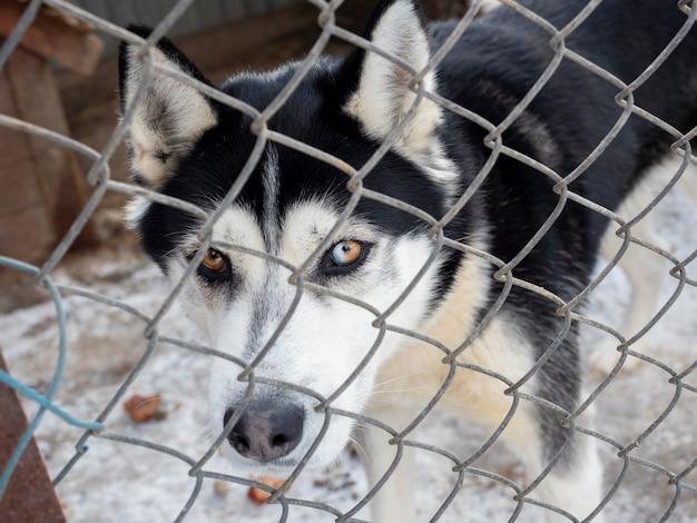Pies husky jest zamknięty za żelazną siatką