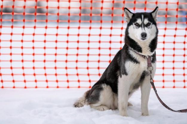 Pies husky na smyczy, czekając na wyścig psich zaprzęgów. dorosłe silne zwierzę przed zawodami sportowymi.