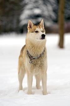 Pies husky na spacer po parku