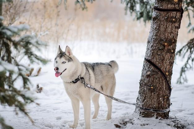 Pies husky stoi na śniegu, przywiązany smyczą do pnia drzewa.